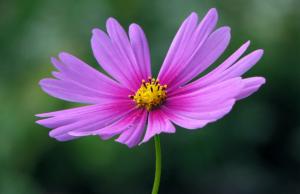 fiore-petaloso